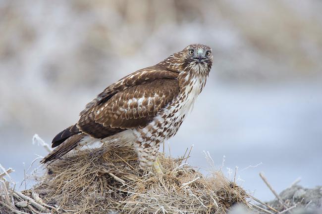 Juvenile Red-tailed Hawk (Buteo jamaicensis). Lower Klamath National Wildlife Refuge, Siskiyou County, California. December.