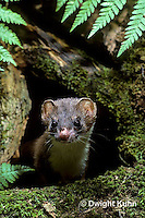 MA21-017z  Long-Tailed Weasel - in summer brown coat - Mustela frenata