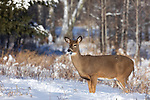 White-tailed doe standing in the snow in northern Wisconsin.