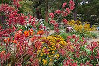 Colorful California backyard perennial border garden with orange and yellow flower perennials, Canna, Anigozanthos, Rudbeckia; Schneck Garden