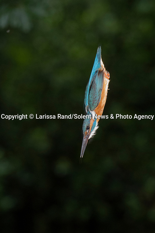 "A colourful kingfisher dives into water after perching on a photographer's camera lens to scour the lake for food.  Photographer Larissa Rand was watching the bird at a small lake near the Dutch city of Naarden.<br /> <br /> The 46 year old was waiting in a hide for the perfect shot, when the brightly-coloured kingfisher landed right on top of her camera, using it as a vantage point to look for food and then as a diving board to spring into the water.  She said: ""I was in a special hide close to the breeding location of a couple of kingfishers. A perfect place to observe and photograph these kingfishers, without disturbing them.  SEE OUR COPY FOR DETAILS.<br /> <br /> Please byline: Larissa Rand/Solent News<br /> <br /> © Larissa Rand/Solent News & Photo Agency<br /> UK +44 (0) 2380 458800"