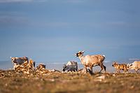 Caribou of the Western arctic herd migrate through the Utukok Uplands, National Petroleum Reserve Alaska, Arctic, Alaska.
