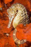 big-belly seahorse, or pot-bellied seahorse, Hippocampus abdominalis, the world's largest species of seahorse, Port Philip Bay, Melbourne, Victoria, Australia