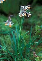 Tulbaghia acutiloba Wild Garlic in flower