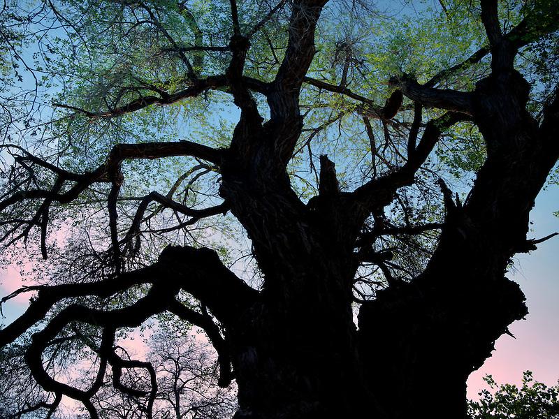 Old cottonwood tree . Capitol Reef National Park, Utah