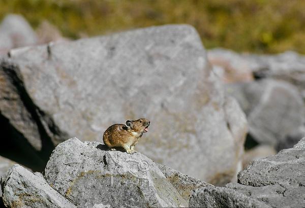 "Pika (Ochotona princeps) in alpine rock pile calling warning ""peek"" call.   Pacific Northwest.  Summer."