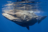 Sperm whale, Physeter macrocephalus, Cetacea, Faial, Azores, Portugal, Northern Atlantic, Europe