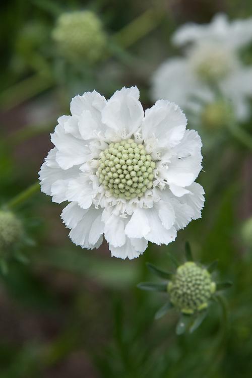 Scabiosa caucasia perfecta 'Alba', early August.
