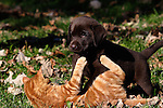 Chocolate Labrador retriever puppy (AKC) playing with a kitten.  Fall.  Birchwood, WI.