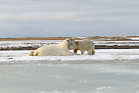 A cub nuzzles his mother before returning to play. Every fall, polar bears gather near the community of Kaktovik, Alaska, on the northern edge of ANWR, waiting for the Arctic Ocean to freeze. The bears have become a symbol of global warming.