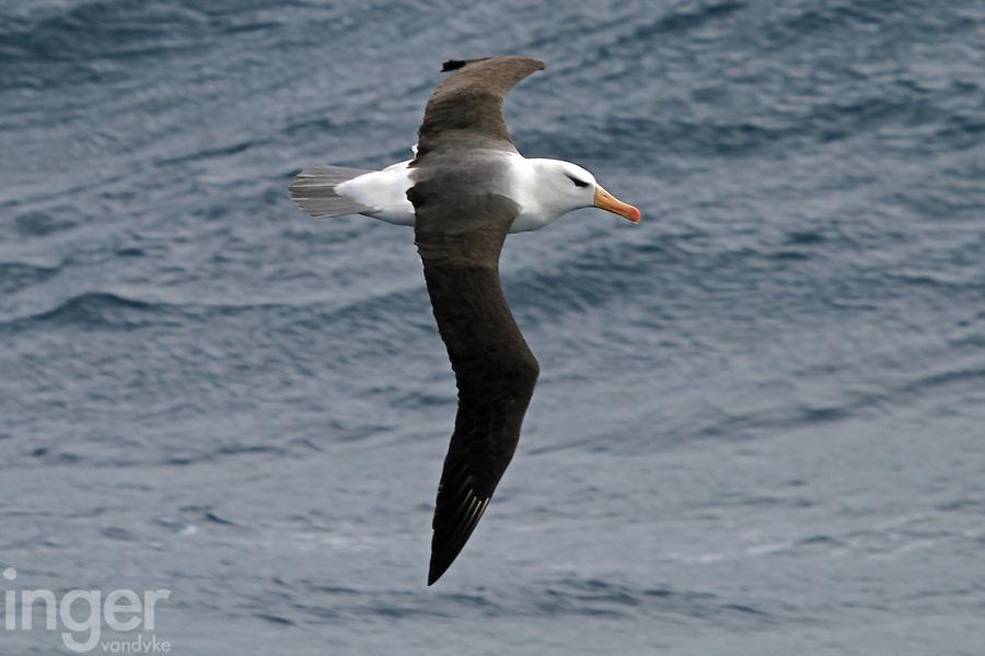 Black-browed Albatross in Flight - Inger Vandyke