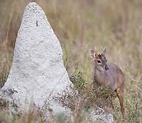 A gray brocket deer grazes near a termite mound in the northern Pantanal.