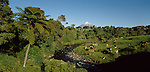 Dairy cows grazing near native forest and Mount Taranaki. Taranaki Region of New Zealand.