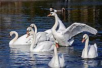 Animais. Aves. Cisnes no lago (Cygnus olor). Hyde Park. Foto de Juca Martins.
