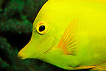 Mimic Surgeonfish