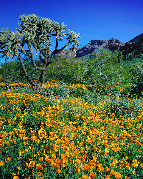 Golden poppies and Cholla Cactus with the Ajo mountians, Organ Pipe Cactus National Monument, Arizona, USA. .  John offers private photo tours in Arizona and and Colorado. Year-round.