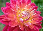 Dahlia 'Bloom's Irene'