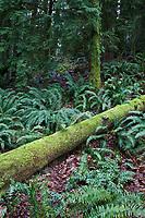 Moss Covered Log & Ferns, Cascade Mountain Range, Washington, USA.