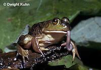 FR09-008z  Bullfrog - eating a worm - Lithobates catesbeiana, formerly Rana catesbeiana