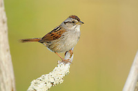Adult Swamp Sparrow (Melospiza georgiana). Tompkins County, New York. May.