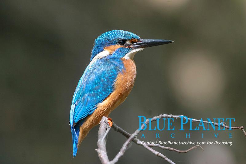 European Kingfisher (Alcedo atthis)