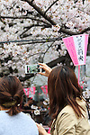 A woman takes pictures of the cherry blossoms in full bloom at Meguro river in Nakamegurgo on April 1, 2016, Tokyo, Japan. On Thursday, the Japan Meteorological Agency announced that Tokyo's cherry trees were in full bloom, three days earlier than usual, but two days later than last year. Meguro River runs for about 7.82km through Setagaya, Meguro and Shinagawa wards in downtown Tokyo, and many visitors come to see the cherry blossom trees along the river banks in spring. (Photo by Rodrigo Reyes Marin/AFLO)