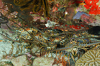 Group of caribbean spiny lobsters gathering in a cave, Panulirus argus, inhabit reefs, hide in protective recesses during day, and forage in the open at night, females during reproduction, carry clusters of tiny orange eggs under their abdomens, Martinique, French Island, Caribbean, Atlantic