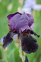 Iris 'Black Tie Affair', mid May. A tall bearded iris with dark purple, almost black falls.
