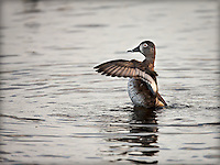 Female Ring-Necked Duck , up out of water with wings flapping, wings are forward