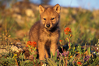 Gray wolf or timber wolf pup (Canis lupus).