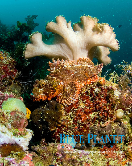 Tassled scorpionfish, scorpaenopsis oxycephala, scorpionfish with a long jumped snout and prominent skin tassels on the lower head, resting on reef below a mushroom leather coral, sarcophyton sp. - length 36cm, Raja Ampat, West Papua, Indonesia