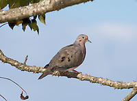Eared Dove, Zenaida auriculata, perched on a branch at San Jorge de Quito eco-lodge, Quito, Ecuador