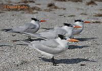 0711-0803  Flock of Royal Tern, Thalasseus maximus maximus (syn. Sterna maxima) © David Kuhn/Dwight Kuhn Photography