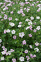 Geranium Dreamland ('Bremdream'), early August. A ground-cover cranesbill that produces pale pink flowers from late spring to early autumn. Bred by Alan Bremner in Orkney.