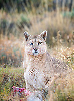 "She's been exposed to humans, including photographers and film crews, since she was a tiny cub. So this Puma (Puma concolor), named ""Hermanita"" (little sister), is pretty relaxed around people. However, when one of our trackers - thanks Junior! - stepped right in front of her while she was feeding on the Guanaco she killed the night before, our hearts skipped a beat. Hermanita looked up for about a second and went right back to eating. When a small group of photographers joined the tracker, Hermanita remained unfazed. It was so cool to share this moment with a wild Puma. Near Laguna Amarga area, Torres del Paine National Park, Patagonia, Chile."
