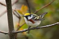 Male Chestnut-sided Warbler (Dendroica pensylvanica).  Spring.