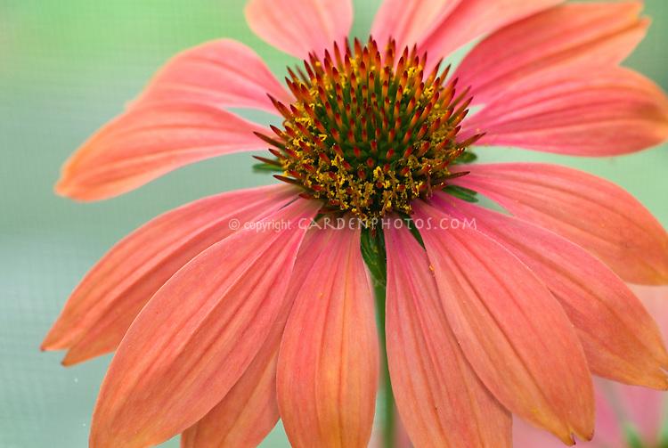 Echinacea Twilight, purple coneflower makes great cut flower