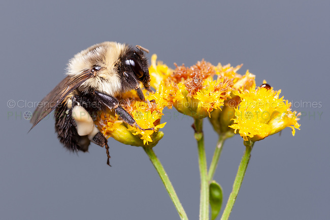 Common Eastern Bumble Bee (Bombus impatiens) on Goldenrod.