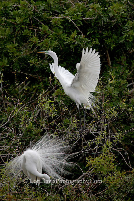 Great Egret Taking Off  #E19