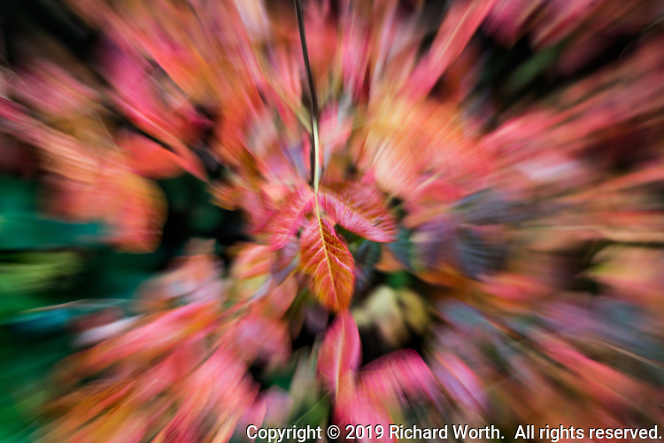 Red leaves in a neighborhood park imagined with motion in an autumn image.