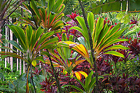 Ti plants. Hawaii Tropical Botanical Gardens. Hawaii, The Big Island.