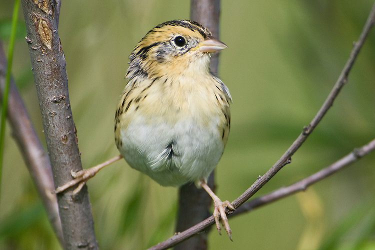 Nelson's Sharp-tailed Sparrow perched between a pair of branches