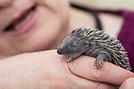 18/06/2013 Baby Hedgehogs