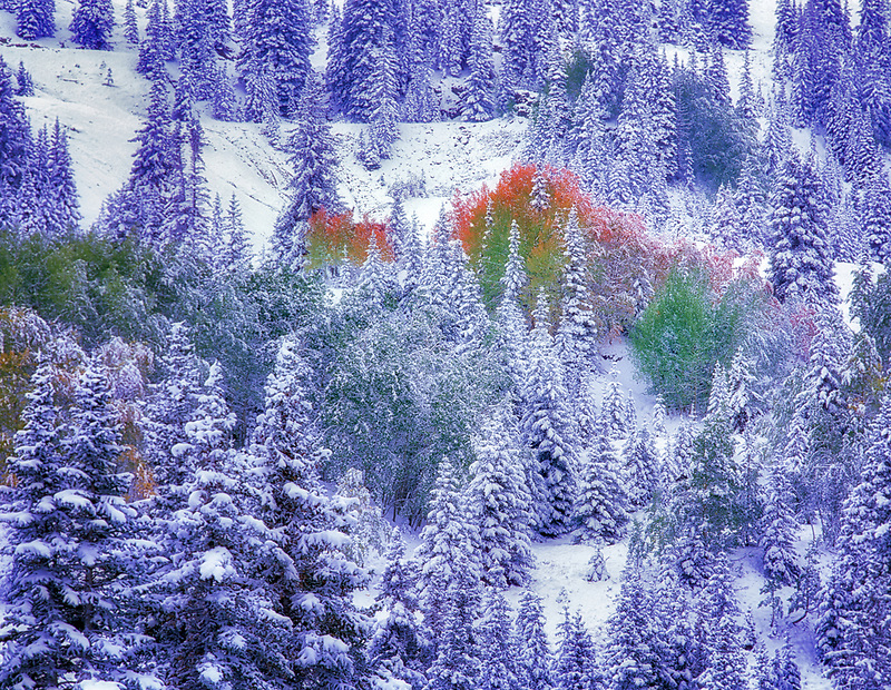 Snow and fall colored aspens in conifer forest. San Juan Mountains , Colorado
