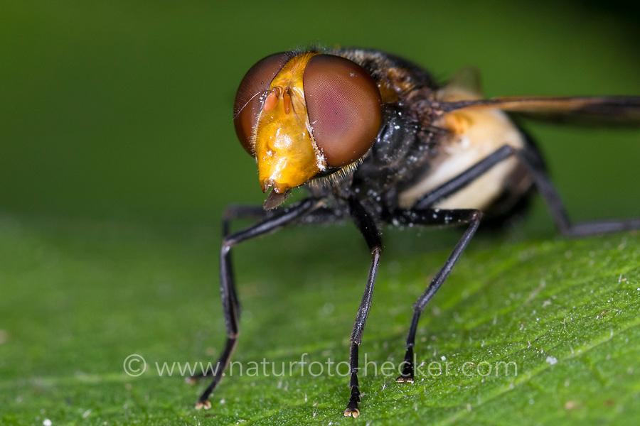 Gemeine Waldschwebfliege, Waldschwebfliege, Wald-Schwebfliege, Gemeine Hummel-Schwebfliege, Weißbindige Hummelschwebfliege, Hummelschwebfliege, Weibchen, Portrait, Volucella pellucens, Pellucid Hoverfly, Pellucid Fly, female, la volucelle transparente