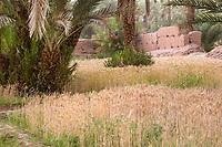 Zagora, Morocco.  Wheat Growing in  Small Farm Plot.