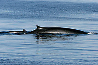 Adult Fin Whale, Balaenoptera physalus, surfacing in the lower Gulf of California, Sea of Cortez, Mexico, Pacific Ocean