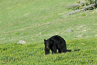 Black Bear (Ursus americanus) in subalpine meadow.  Western U.S., summer.