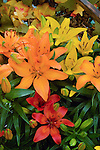 LILIUM MIX BY FLAMINGOHOLLAND, ASIATIC LILY