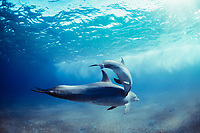 Wild Bottlenose Dolphins, Tursiops truncatus): mother and calf swimming, Nuweiba, Egypt, Red Sea., Northern Africa